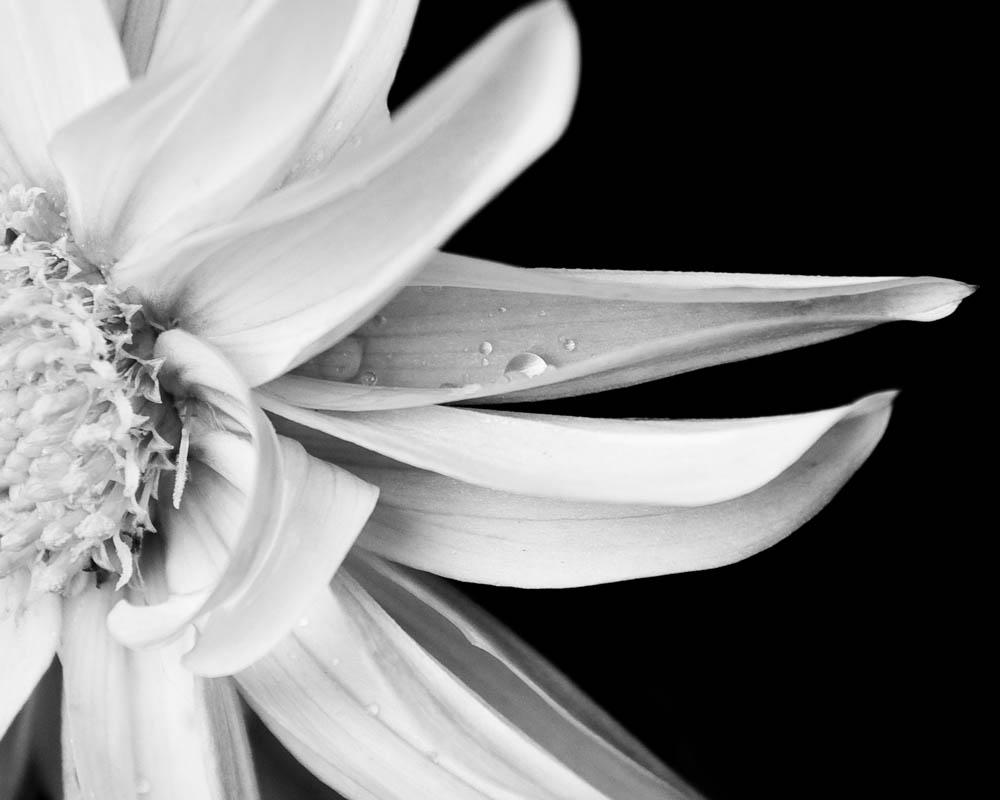 bwflower_001