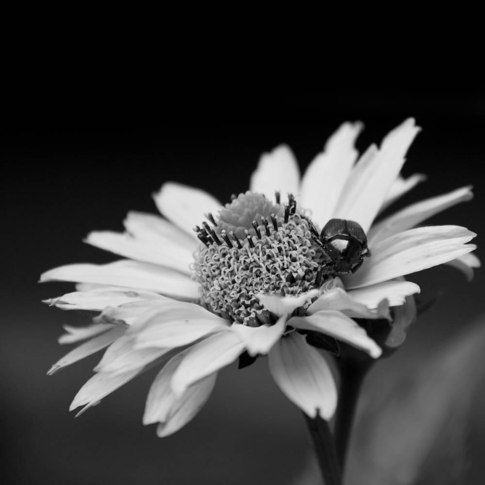 bwflower_004