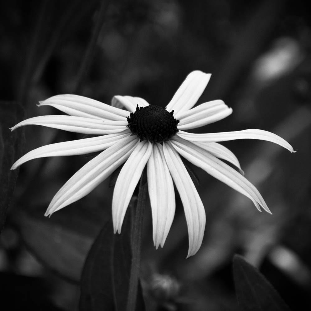 bwflower_005