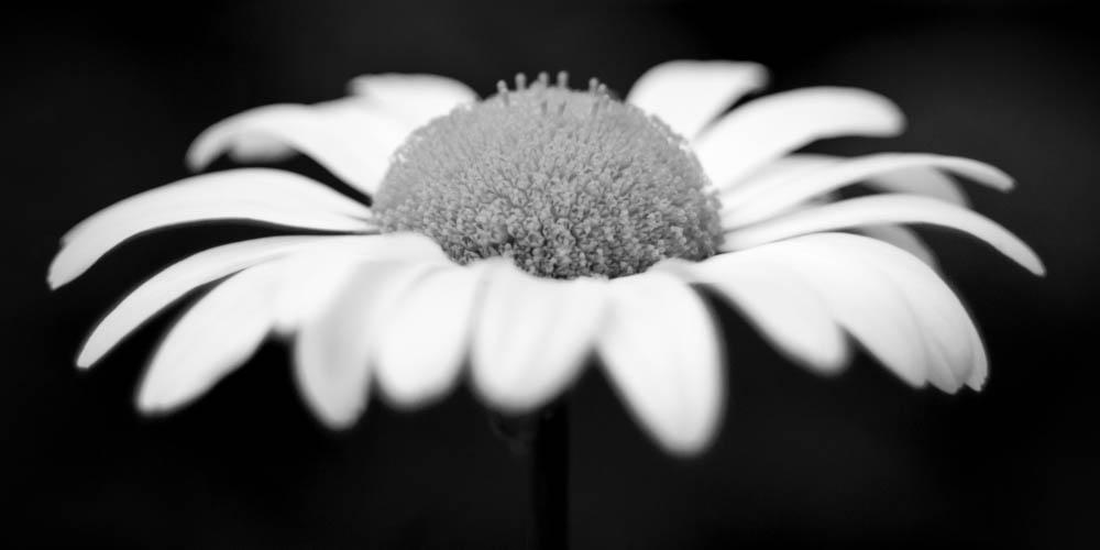 bwflower_008